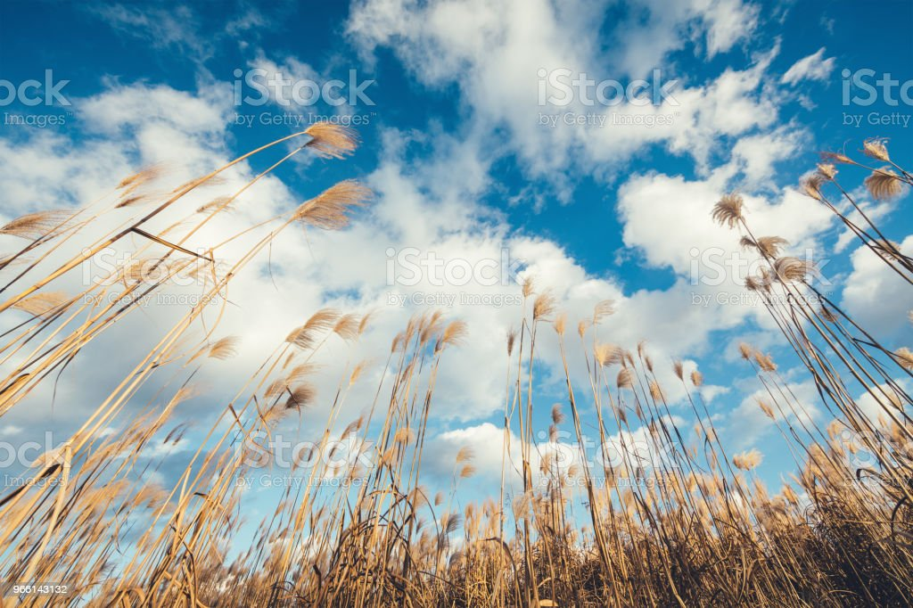 Fluffy Reed Field - Royalty-free Abaixo Foto de stock