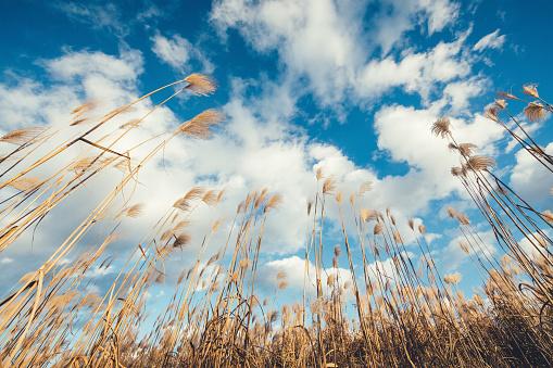 Fluffiga Reed Fält-foton och fler bilder på Beskrivande färg