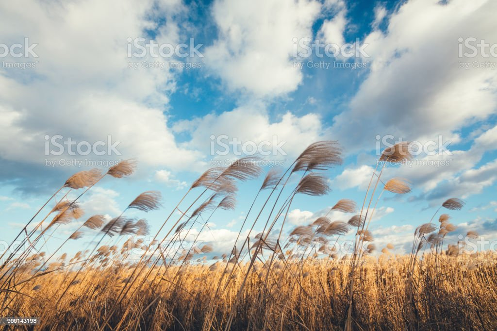 Fluffy Reed Field - Royalty-free Agricultural Field Stock Photo