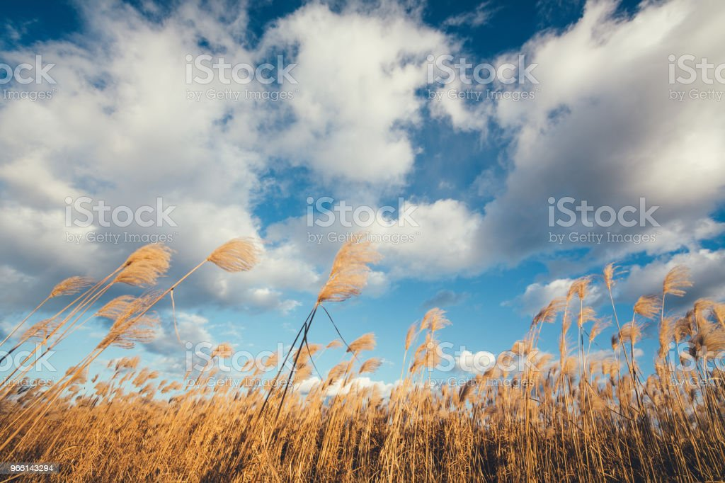 Fluffy Reed Field - Foto stock royalty-free di Agricoltura