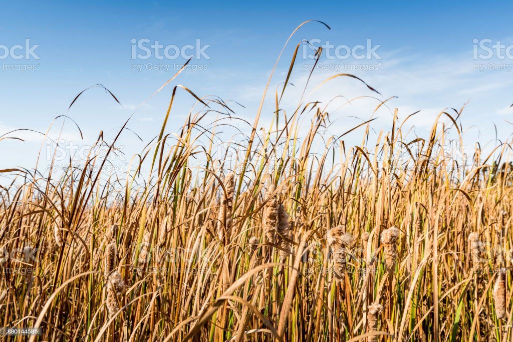 Fluffy reed stock photo