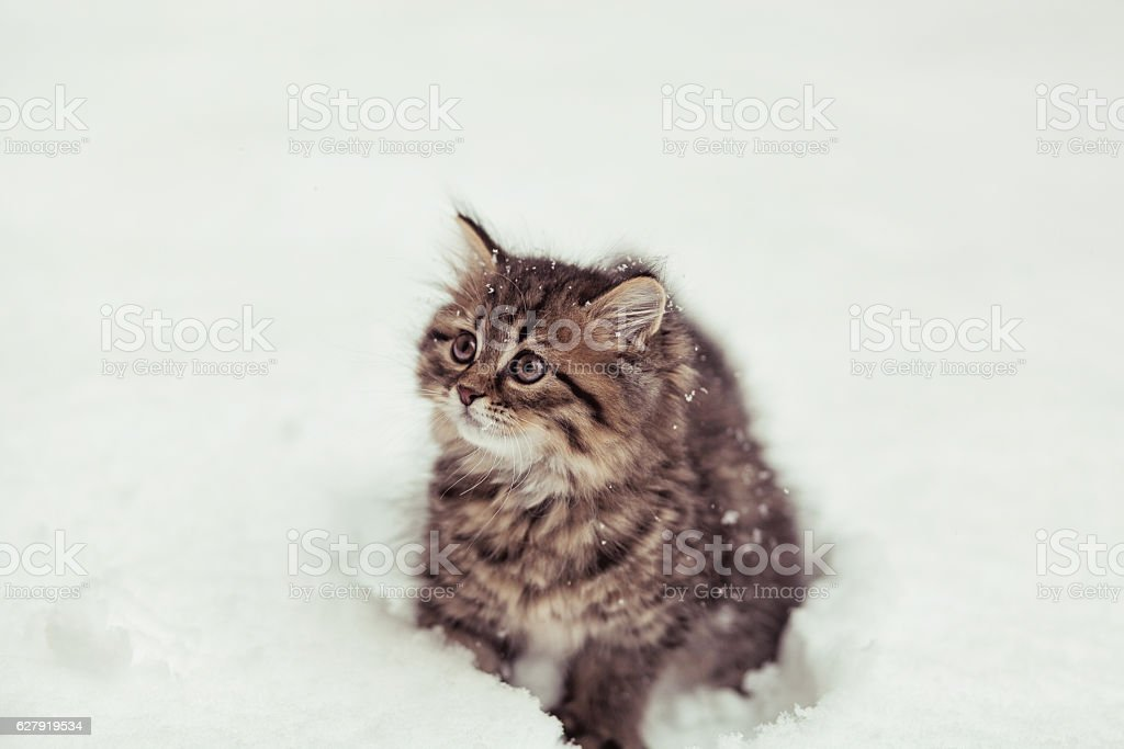 fluffy Siberian cat in snow isolated on a white background stock photo