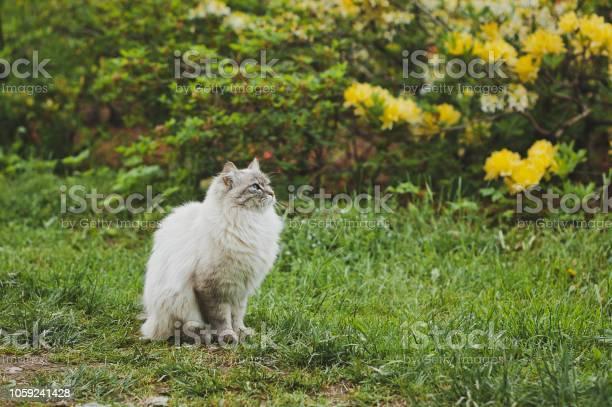 Fluffy siberian cat on the background of rhododendron flowers 1545 picture id1059241428?b=1&k=6&m=1059241428&s=612x612&h=tscbaihcfxhmnedthdresqcvhwzhneadujaxangzata=