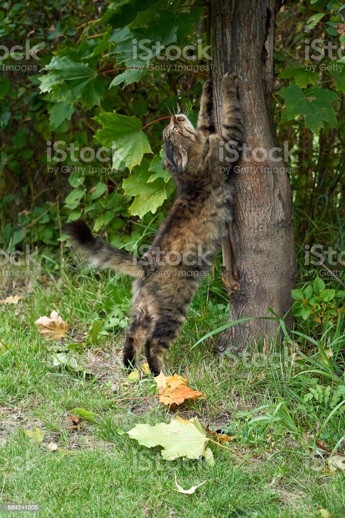 fluffy siberian cat scratch tree royalty-free stock photo
