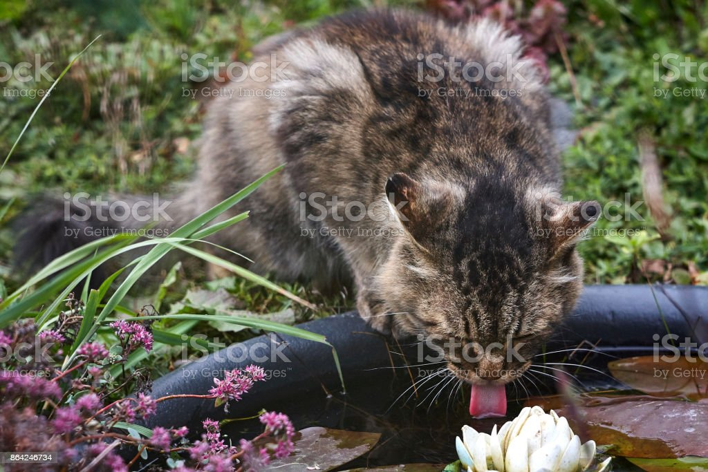 Fluffy siberian cat tongue  is drinking in garden close up royalty-free stock photo