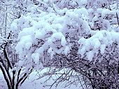 Fluffy snow caps on park trees in winter