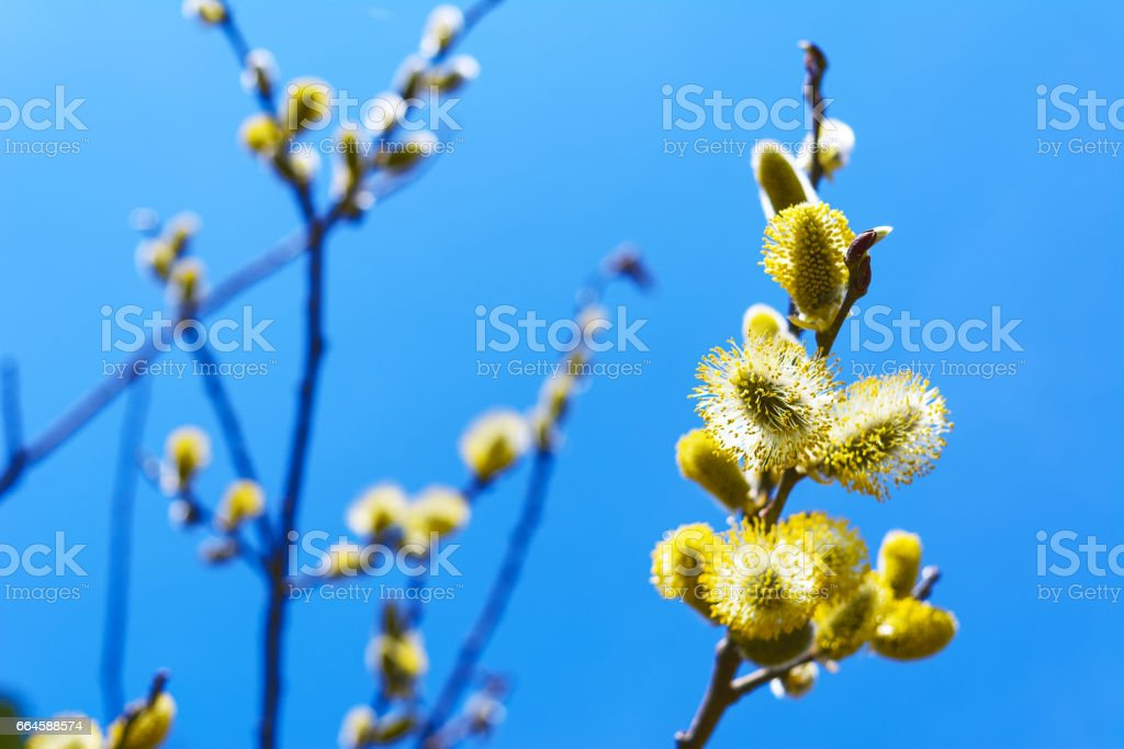 Fluffy sprig of blossomed willow stock photo