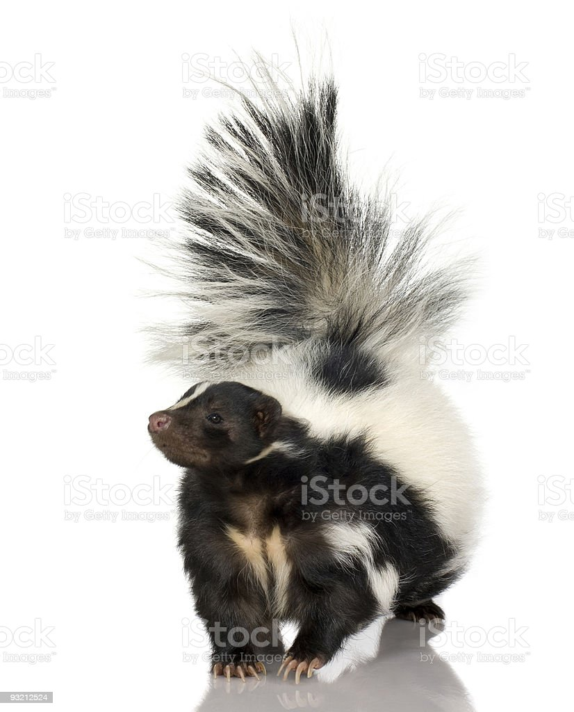 A fluffy striped skunk walking stock photo