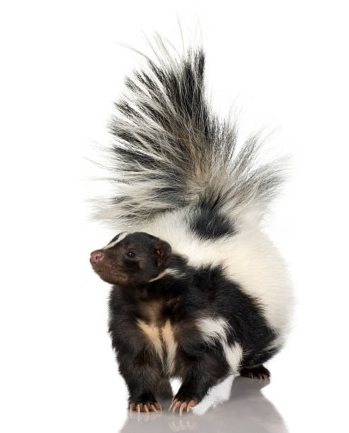 a fluffy striped skunk walking - skunk stock photos and pictures