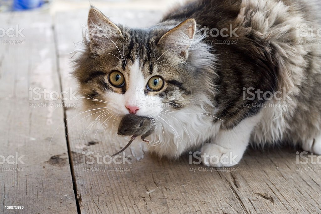 Fluffy tabby cat with dead mouse in its mouth stock photo