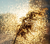 dry fluffy twig of pampas grass or common reed in gold bright bokeh light. Abstract background, minimalism, floral home interior