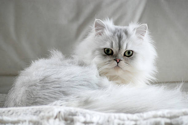 Fluffy white cat lying down looking into camera picture id140469307?b=1&k=6&m=140469307&s=612x612&w=0&h=cnslqtuciqcy9b9n4 7rsxctvmlolsbf8bifbr0y1 c=