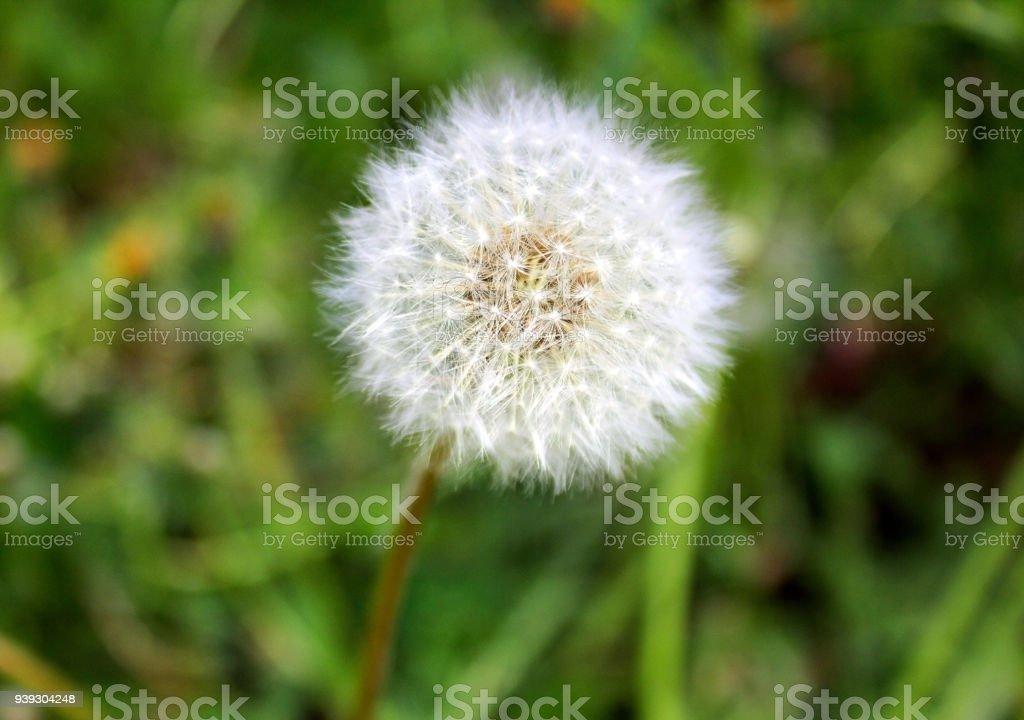Fluffy white dandelion flower closeup against a background of green fluffy white dandelion flower close up against a background of green grass royalty mightylinksfo Images
