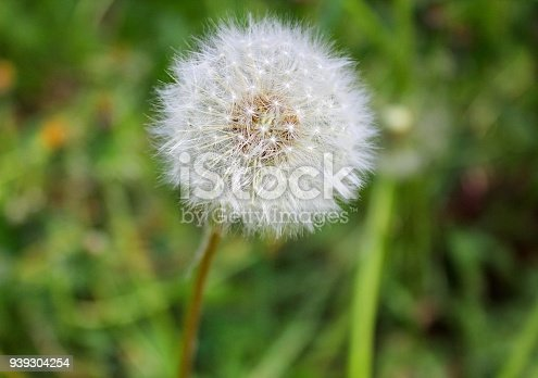 Fluffy white dandelion flower closeup against a background of green fluffy white dandelion flower closeup against a background of green grass stock photo more pictures of backdrop istock mightylinksfo Images