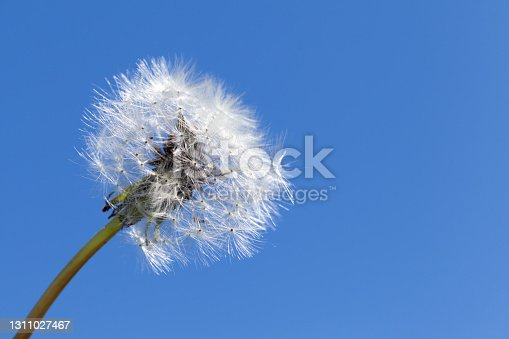 Fluffy white dandelion flower over blue sky background, closeup photo with selective focus