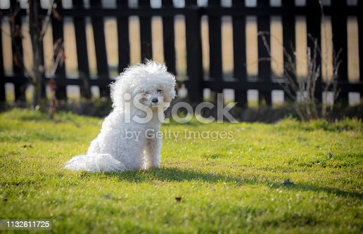 Bichon frise fluffy white dog in my garden