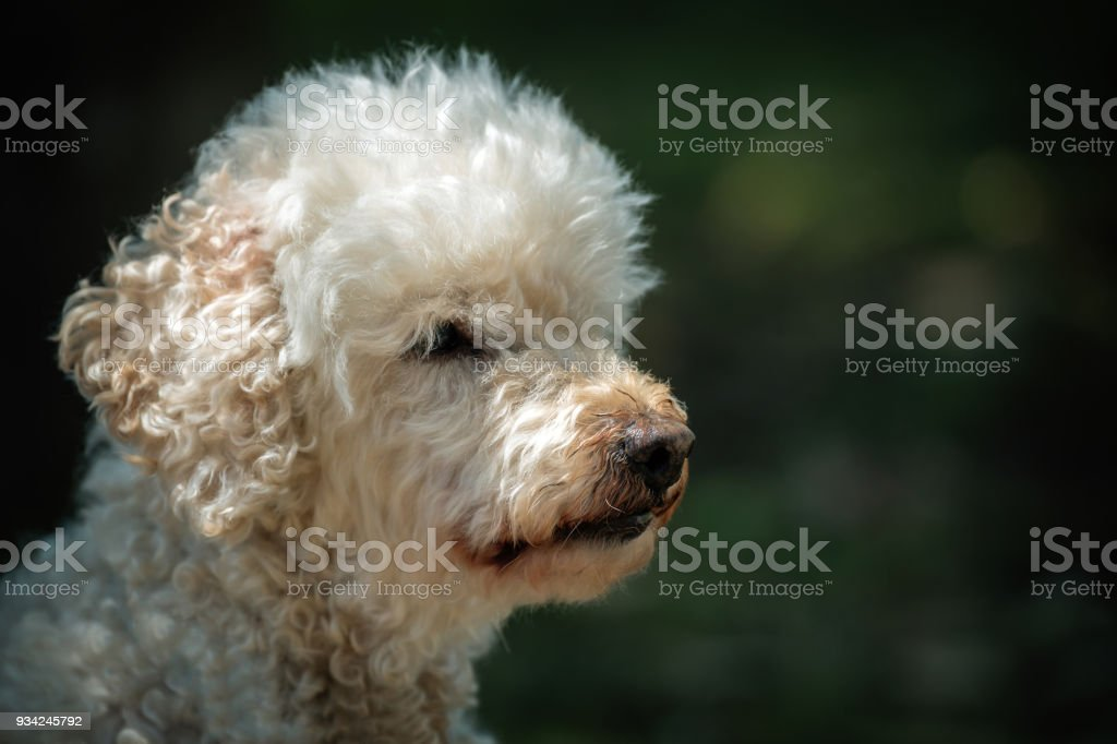 Fluffy white dog stock photo