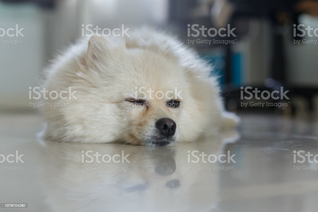 fluffy white pomeranian cute dog, small pet friendly in home