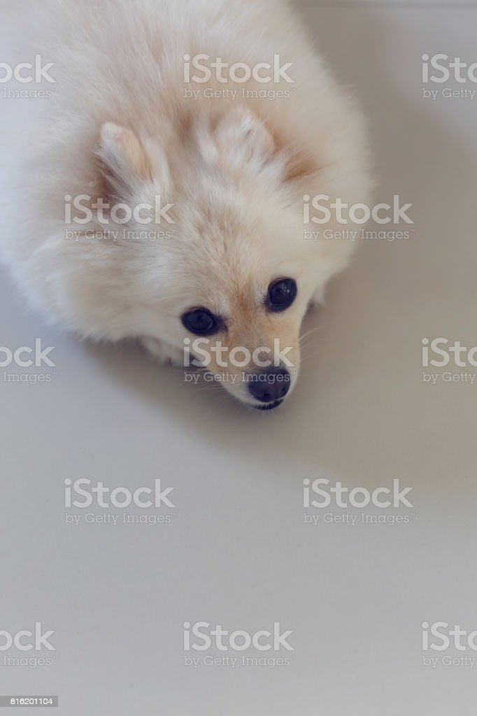 Good Pomeranian Canine Adorable Dog - fluffy-white-pomeranian-cute-dog-small-pet-friendly-picture-id816201104  Picture_32562  .com/photos/fluffy-white-pomeranian-cute-dog-small-pet-friendly-picture-id816201104