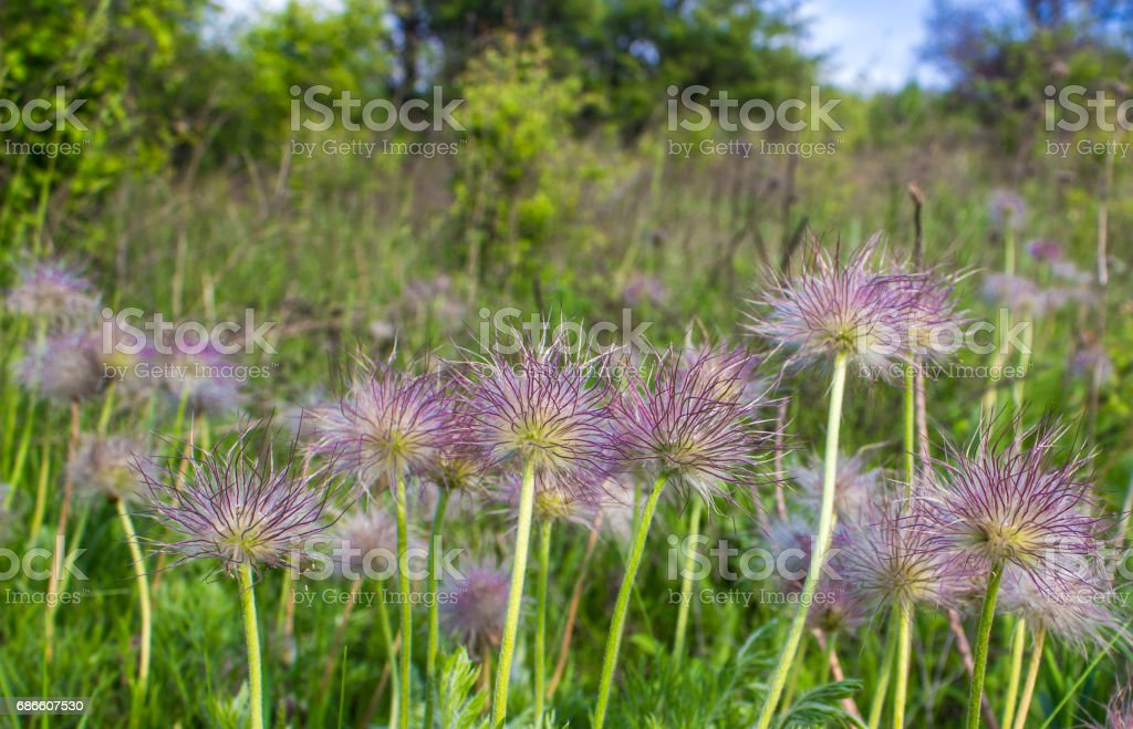 Fluffy wildflowers on a background of green grass and trees royalty-free stock photo