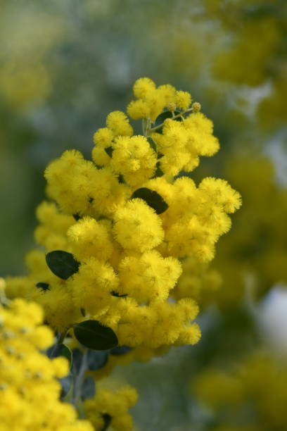 fluffy yellow flowers - steven harrie stock pictures, royalty-free photos & images