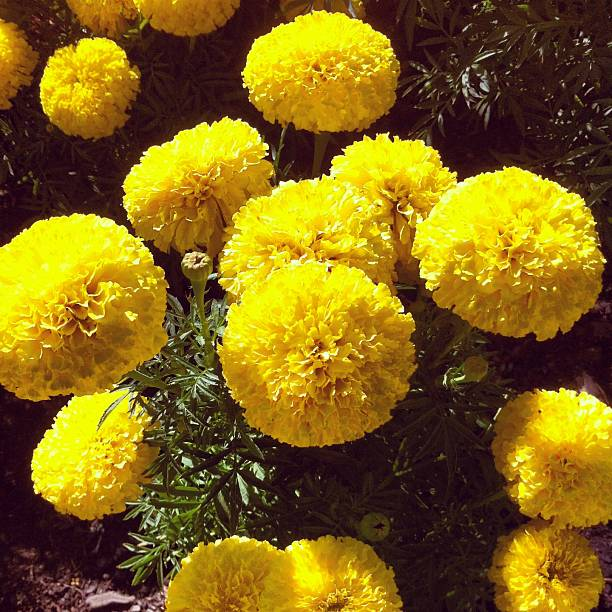 Royalty free yellow pom pom flowers pictures images and stock fluffy yellow flowers stock photo mightylinksfo