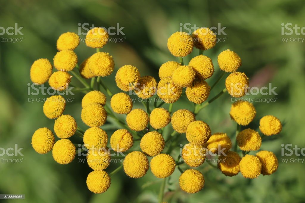 Fluffy yellow round flowers tansy on a sunny day stock photo