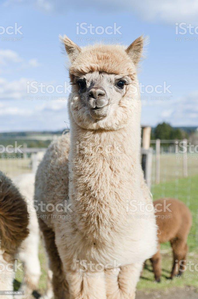 Fluffy young Alpaca foto