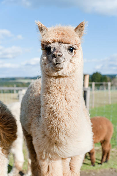 suave jóvenes de alpaca - alpaca fotografías e imágenes de stock