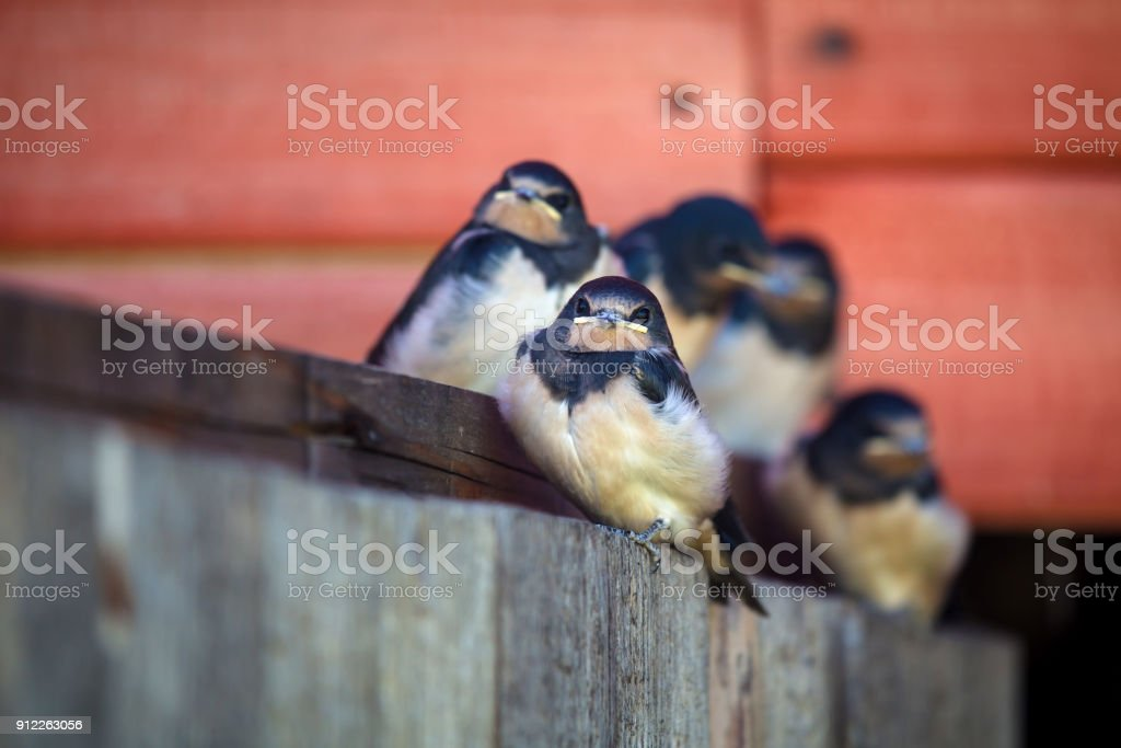 Fluffy young nestlings barn swallows (Hirundo rustica) in an old building. stock photo