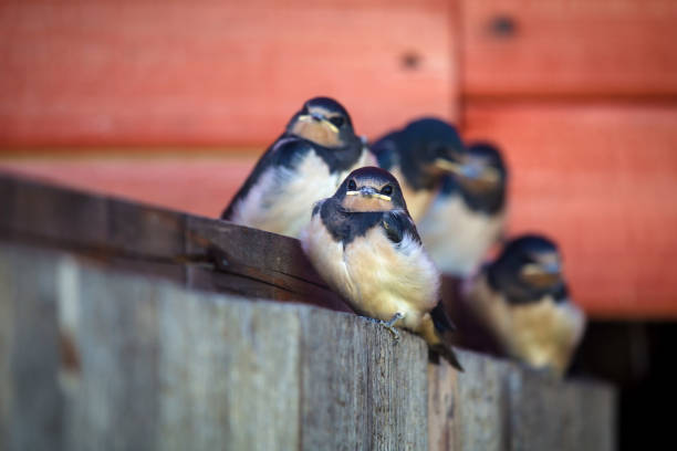 fluffy young nestlings barn swallows (hirundo rustica) in an old building. - rondine foto e immagini stock