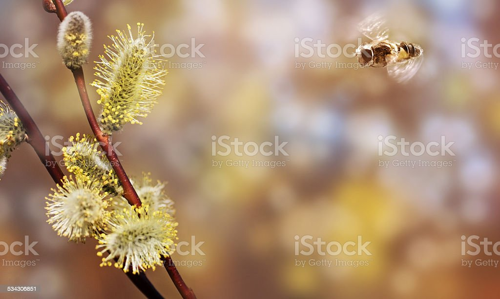 Fluing bee and pussywillows. stock photo