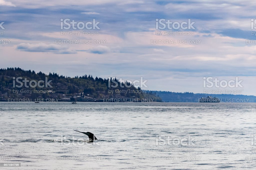 Fluke Of Gray Whale Dissapears Into The Puget Sound In