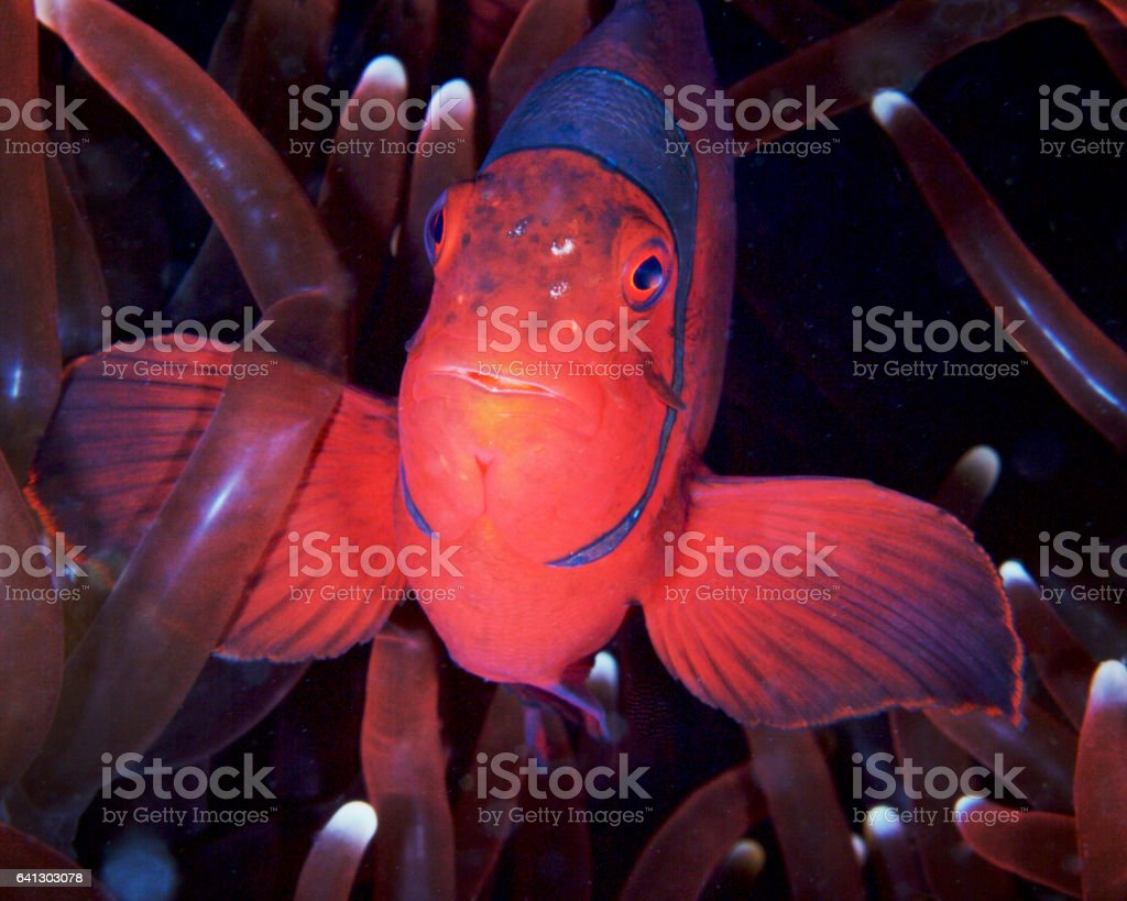 Fluorescent Nemo peeking out from its anemone stock photo