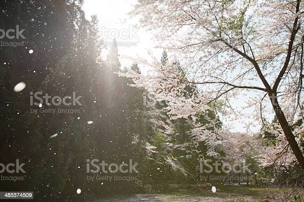 Flurry of falling cherry blossoms near river picture id485374509?b=1&k=6&m=485374509&s=612x612&h=l97eep1ld1o4jo2slayvhoyxrwdwkfo 0ra4rdfooqq=