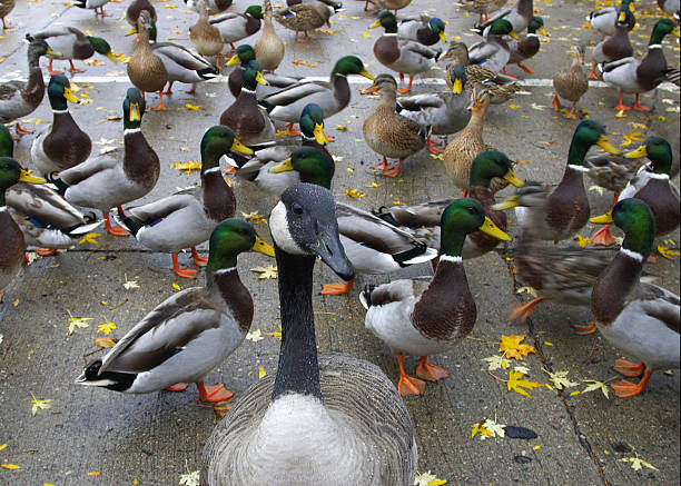 Flurry of Waterfowl A goofy goose and colorful ducks and fall leaves lake waterfowl stock pictures, royalty-free photos & images