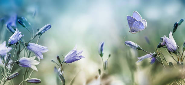 Fluttering butterfly over lilac bellflowers background Fluttering butterfly over purple lilac bellflowers natural background, wild flowers bells on a summer meadow bluebell stock pictures, royalty-free photos & images
