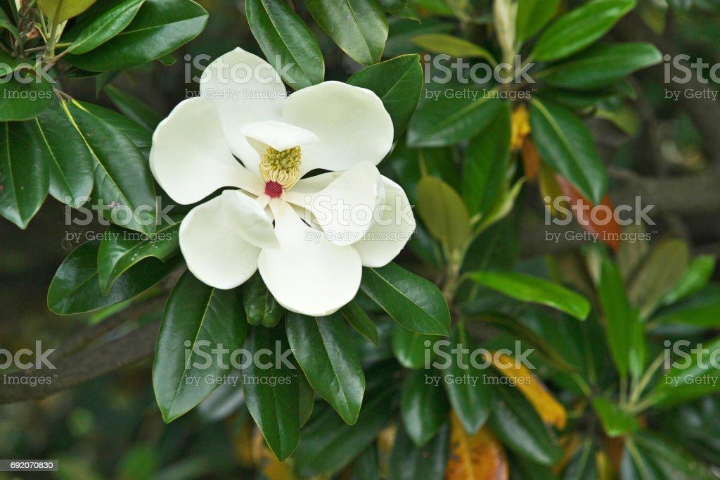 Flwer of the Magnolia grandiflora stock photo
