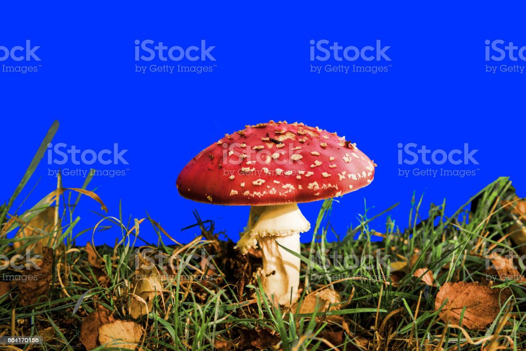 Fly agaric against a blue screen royalty-free stock photo