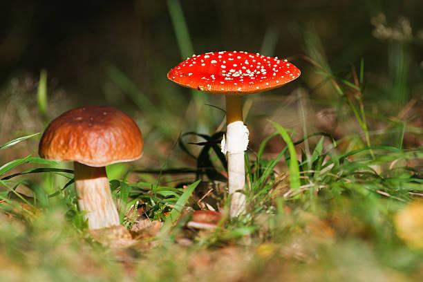 Fly agaric und Steinpilz-Pilzen. – Foto