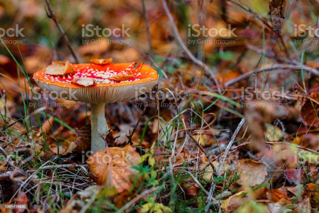 Flugsvamp svamp av skogsstigen bildbanksfoto