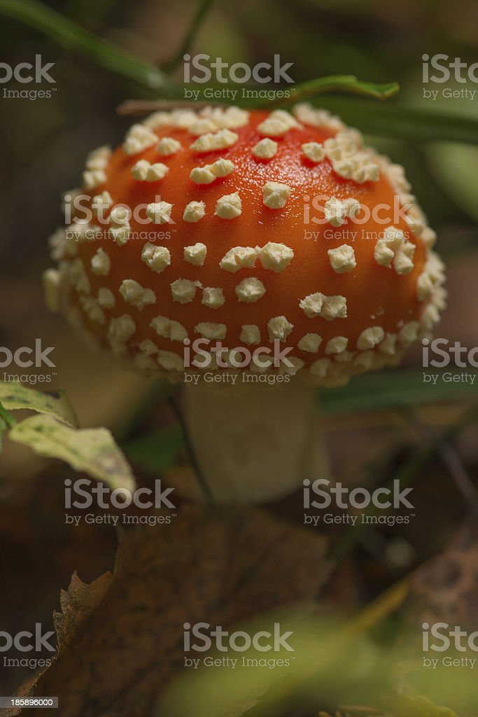 Fly Agaric mushroom in autumn forest close-up. royalty-free stock photo