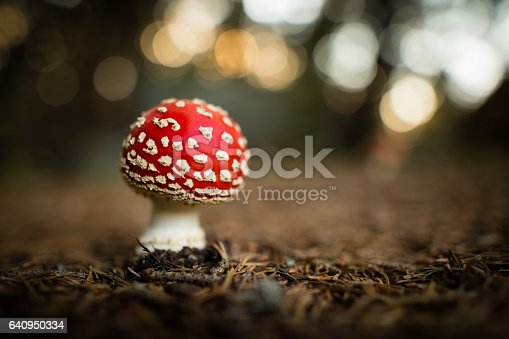Fly agaric mushroom growing in coniferous forest. Probable the most beautiful and most famous species in fungus kingdom, well known because of white spots over red hat. Beautiful, but poisonous. Photo taken with available ambiental light.
