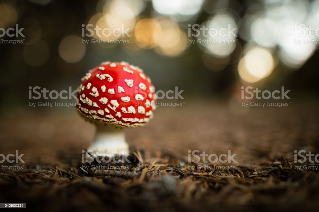 Fly agaric mushroom in forest stock photo