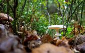 White fly Agaric mushroom in forest floor