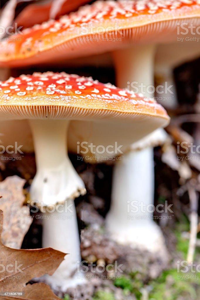 fly agaric mushroom (amanita muscaria) royalty-free stock photo