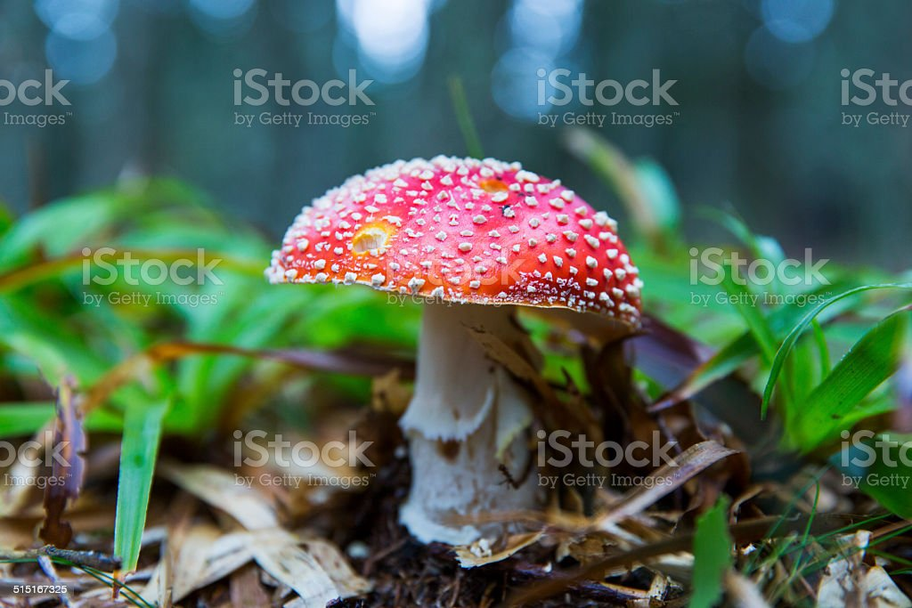 Fly agaric mushroom (Amanita muscaria) stock photo