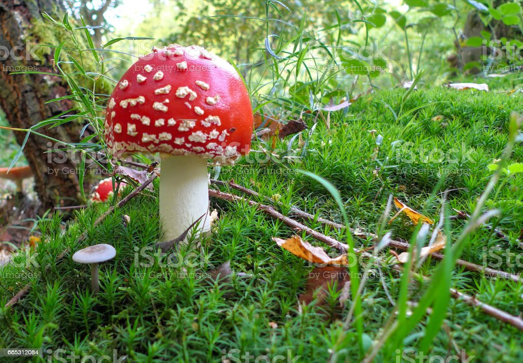 Fly agaric mushroom stands on a forest illumination stock photo