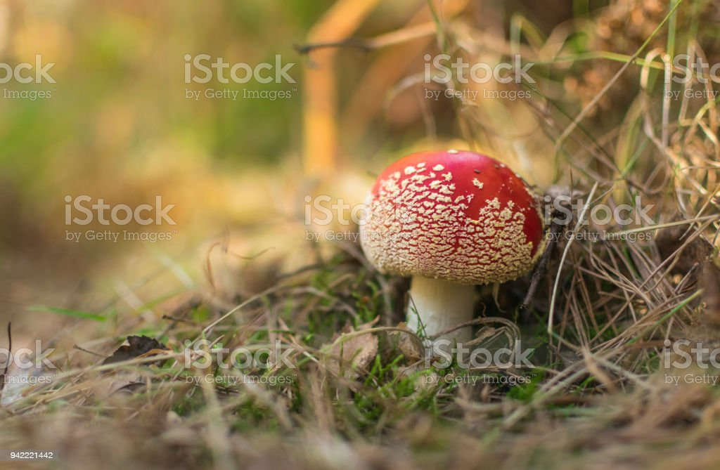 Fly agaric mushrooms in autumn forest. stock photo