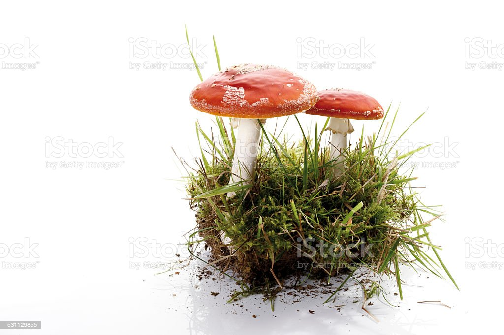 Fly agaric mushrooms (Amanita muscaria) in patch of moss stock photo